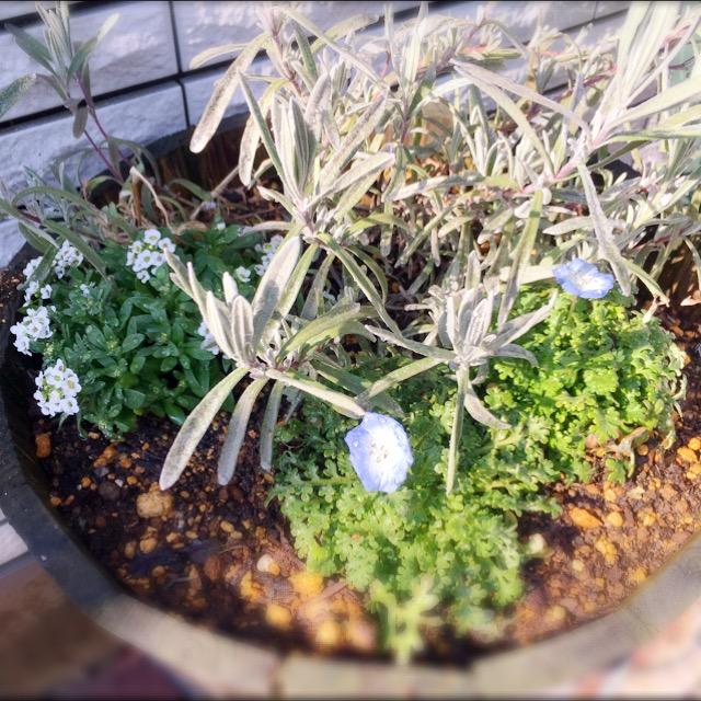 ガーデニング初心者が春の庭を夢みて。ネモフィラとチューリップの育て方。